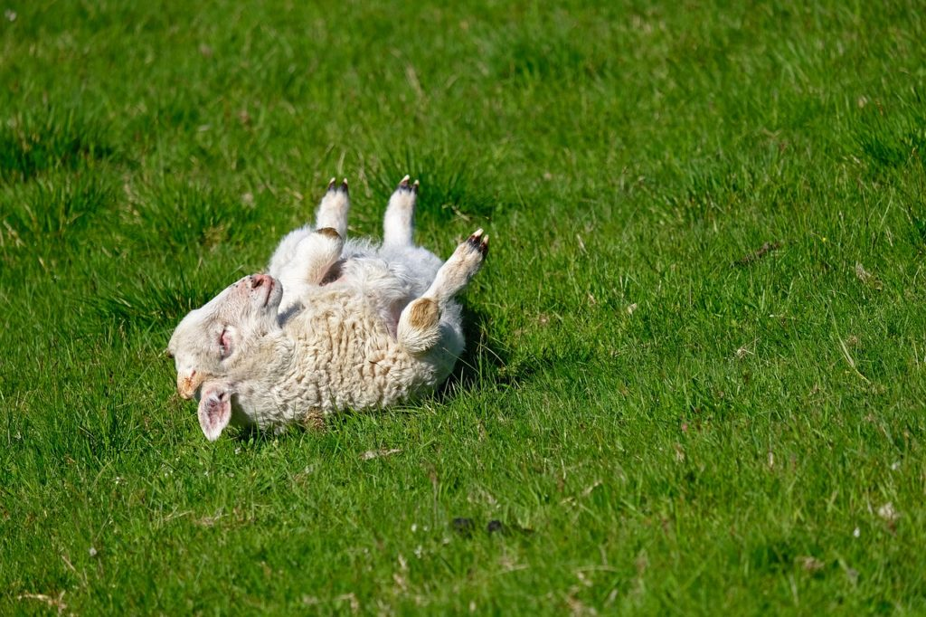 Mouton heureux