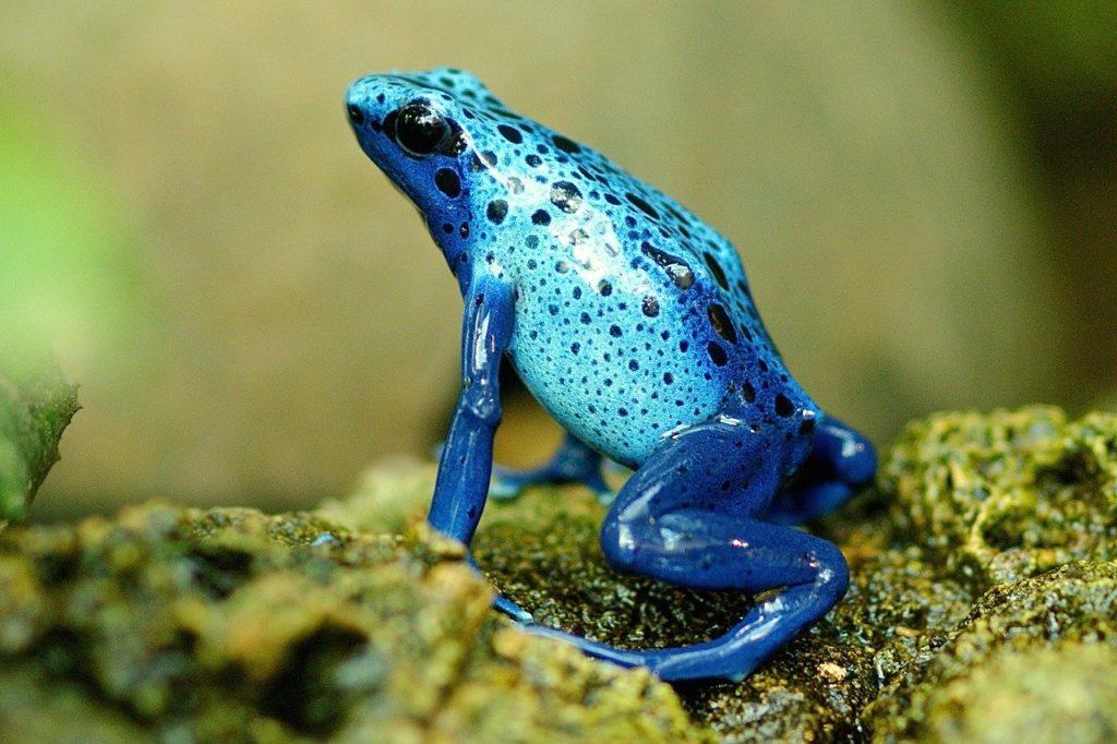 Les grenouilles bleues n'existent pas !